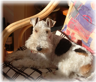 Meet Mombozzie the resident wire haired fox terrier
